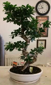 100 cm yüksekliğinde dev bonsai japon ağacı  Nevşehir hediye sevgilime hediye çiçek