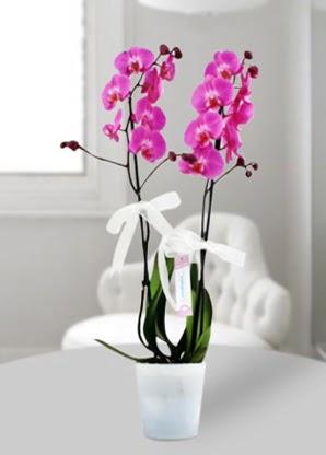 Çift dallı mor orkide  Nevşehir çiçek gönderme