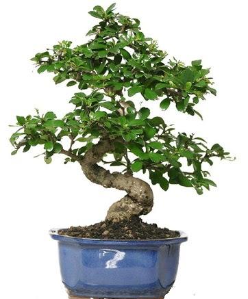 21 ile 25 cm arası özel S bonsai japon ağacı  Nevşehir kaliteli taze ve ucuz çiçekler