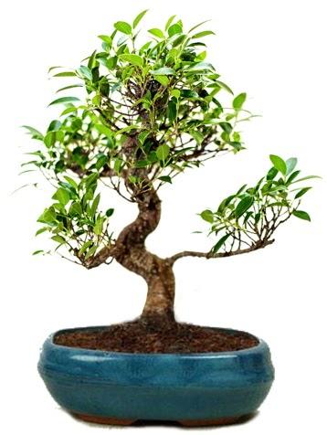25 cm ile 30 cm aralığında Ficus S bonsai  Nevşehir çiçek online çiçek siparişi