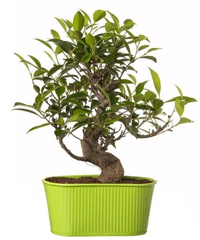 Ficus S gövdeli muhteşem bonsai  Nevşehir çiçek gönderme sitemiz güvenlidir