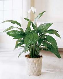 Nevşehir çiçek , çiçekçi , çiçekçilik  spatilyum ithal büyük boy