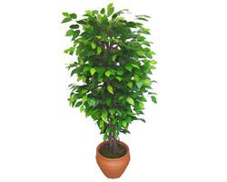 Ficus Benjamin 1,50 cm   Nevşehir internetten çiçek satışı
