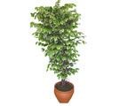 Ficus özel Starlight 1,75 cm   Nevşehir ucuz çiçek gönder