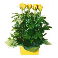 11 adet sari gül aranjmani  Nevşehir 14 şubat sevgililer günü çiçek
