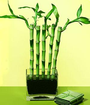 Nevşehir internetten çiçek satışı  Good Harmony Lucky Bamboo camda