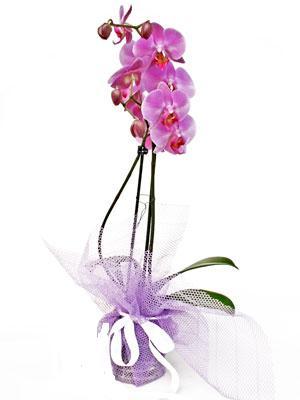 Nevşehir internetten çiçek satışı  Kaliteli ithal saksida orkide