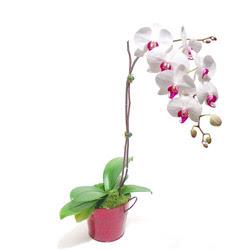 Nevşehir çiçek mağazası , çiçekçi adresleri  Saksida orkide