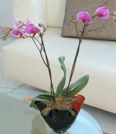 Nevşehir İnternetten çiçek siparişi  tek dal ikili orkide saksi çiçegi