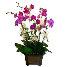 Nevşehir ucuz çiçek gönder  4 adet orkide çiçegi