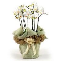 Nevşehir çiçek gönderme sitemiz güvenlidir  3 dal orkide , saksi çiçegi , 3 kök orkide