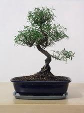 ithal bonsai saksi çiçegi  Nevşehir çiçek satışı