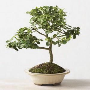 ithal bonsai saksi çiçegi  Nevşehir internetten çiçek siparişi