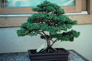 ithal bonsai saksi çiçegi  Nevşehir çiçek siparişi sitesi