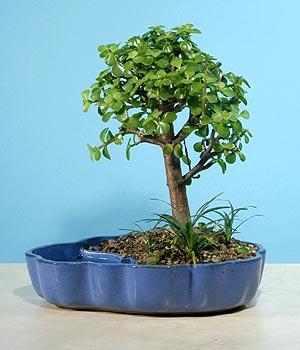 ithal bonsai saksi çiçegi  Nevşehir çiçek gönderme