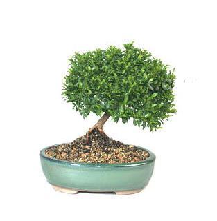 ithal bonsai saksi çiçegi  Nevşehir hediye çiçek yolla