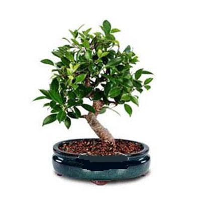 ithal bonsai saksi çiçegi  Nevşehir çiçek gönderme sitemiz güvenlidir