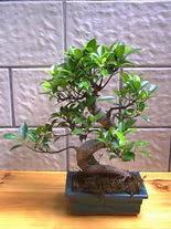 ithal bonsai saksi çiçegi  Nevşehir çiçekçiler