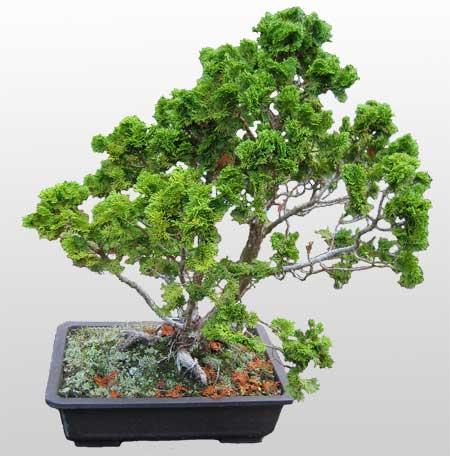 ithal bonsai saksi çiçegi  Nevşehir hediye sevgilime hediye çiçek