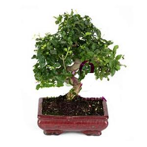 ithal bonsai saksi çiçegi  Nevşehir internetten çiçek satışı