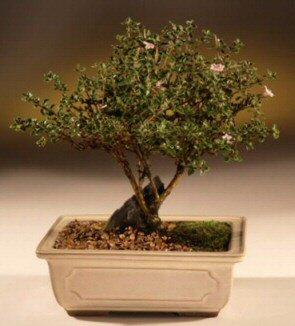 ithal bonsai saksi çiçegi  Nevşehir online çiçek gönderme sipariş