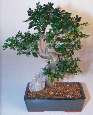 Nevşehir çiçek online çiçek siparişi  ithal bonsai saksi çiçegi  Nevşehir çiçek gönderme sitemiz güvenlidir
