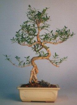 Nevşehir güvenli kaliteli hızlı çiçek  ithal bonsai saksi çiçegi  Nevşehir çiçek satışı