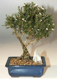 Nevşehir yurtiçi ve yurtdışı çiçek siparişi  ithal bonsai saksi çiçegi  Nevşehir çiçek , çiçekçi , çiçekçilik