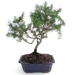 ithal bonsai saksi çiçegi  Nevşehir kaliteli taze ve ucuz çiçekler