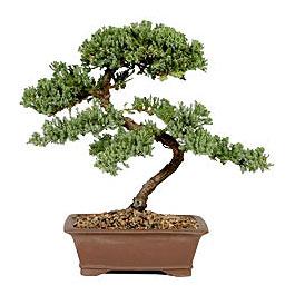 ithal bonsai saksi çiçegi  Nevşehir çiçek online çiçek siparişi