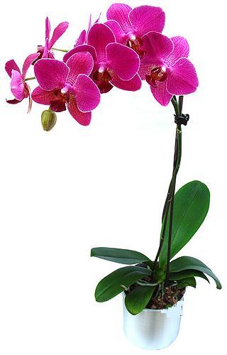 Nevşehir İnternetten çiçek siparişi  saksi orkide çiçegi