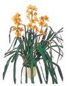 Nevşehir çiçek gönderme  Orchiede ithal büyük boy saksi