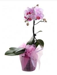 1 dal pembe orkide saksı çiçeği  Nevşehir cicek , cicekci