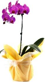 Nevşehir çiçek gönderme sitemiz güvenlidir  Tek dal mor orkide saksı çiçeği