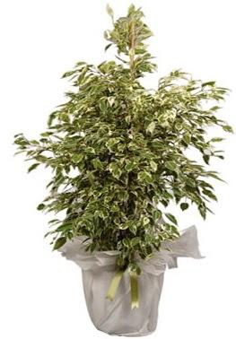 Orta boy alaca benjamin bitkisi  Nevşehir çiçek yolla