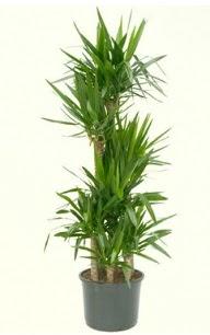 7 li yucca saksı bitkisi  Nevşehir çiçek siparişi vermek