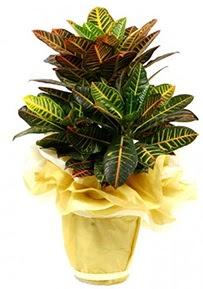 Orta boy kraton saksı çiçeği  Nevşehir çiçek siparişi sitesi