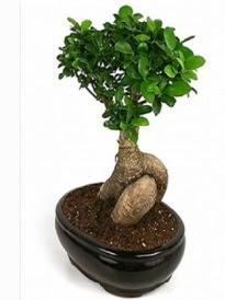 Bonsai saksı bitkisi japon ağacı  Nevşehir çiçek gönderme sitemiz güvenlidir