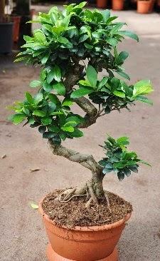 Orta boy bonsai saksı bitkisi  Nevşehir çiçekçi telefonları
