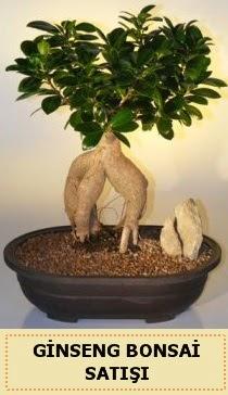 İthal Ginseng bonsai satışı japon ağacı  Nevşehir çiçek gönderme sitemiz güvenlidir