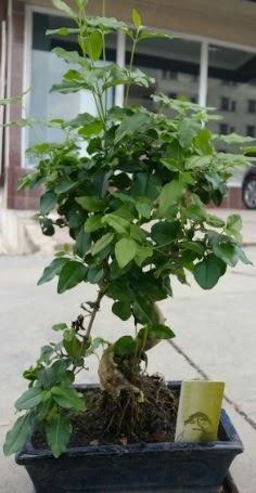 Bonsai japon ağacı saksı bitkisi  Nevşehir çiçek satışı