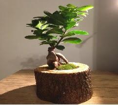 Doğal kütükte Bonsai japon ağacı satışı  Nevşehir çiçek yolla