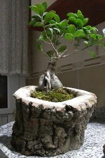 Ahşap kütük içerisinde ginseng bonsai  Nevşehir çiçekçi telefonları