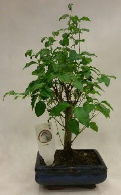 Minyatür bonsai japon ağacı satışı  Nevşehir kaliteli taze ve ucuz çiçekler