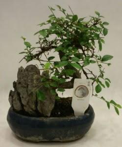 İthal 1.ci kalite bonsai japon ağacı  Nevşehir güvenli kaliteli hızlı çiçek