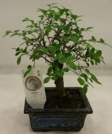 Minyatür ithal japon ağacı bonsai bitkisi  Nevşehir güvenli kaliteli hızlı çiçek
