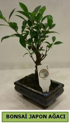 Bonsai japon ağacı saksı bitkisi  Nevşehir çiçek siparişi vermek
