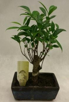 Japon ağacı bonsai bitkisi satışı  Nevşehir kaliteli taze ve ucuz çiçekler
