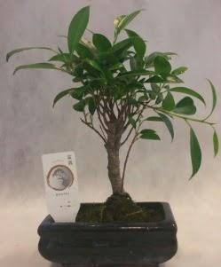 Bonsai japon ağacı bitkisi satışı  Nevşehir çiçek online çiçek siparişi