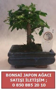 Japon ağacı minyaür bonsai satışı  Nevşehir güvenli kaliteli hızlı çiçek
